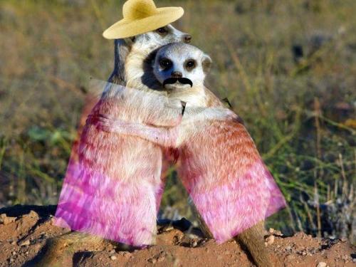 MeerkatsEmbarrassed